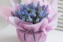 voorjaar / Haal de voorjaar in huis met blauwe druifjes hyacinten narcissen
