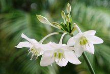 Eucharis / Eucharis is een mooie teren bloem die op een narcis en orchidee lijkt. deze bloem reukt zoet