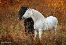 Paarden / Paarden