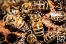 Macro Minifauna © rmpics / Le api viste dalla macchina fotografica di Riccardo Meneghini © www.rmpics.it in una bacheca dedicata da MMape il Mulino Museo dell'ape a Croviana in Val di Sole.