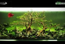 aquascape / freshwater aquascape, fish, plant, shrimps and snails