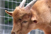Frigg's Goats - Nigerian dwarf goats / Here are my beautiful, sweet, productive Nigerian Dwarf Goats. Currently only offering stud service by my adorable, handsome boys. / by Friggjasetr