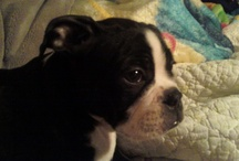 Boston Terriers / by Emmy Swain, Author