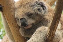 Australian animals / Beautiful pictures of Australian animals and wildlife