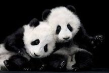 panda bears / by diana haddaway