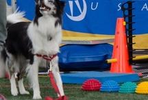 Agility/Canine Sports / Training, coaching and loving strong canine athletes!