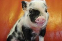 piglets /  one of reasons i'm vegan
