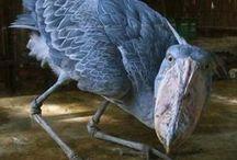 shoebill / a  fascinating bird
