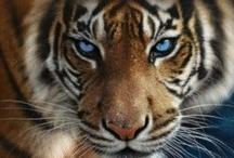 striped predator
