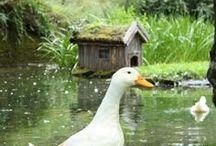 chooks & duckses / Chooks & Ducks & all things poultry.  / by Kate McCredie