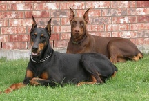 LEX & LOLA (Dogs) / Dogs: I want a pair. Male (Lex) and Female (Lola) Breeds - Doberman, Boxer or Vizla