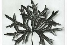 Karl Blossfeldt / Karl Blossfeldt was a German photographer, sculptor, teacher, and artist who worked in Berlin, Germany. He is best known for his close-up photographs of plants and living things. / by ~ woodfox