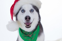 Holiday Hounds  / Humans aren't the only ones that like to celebrate the holidays. Many of our four legged friends love putting on reindeer antlers and wagging their tails to the jingle bell rock. Here are some great pins of dogs celebrating the holidays!