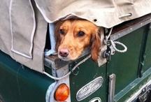 Animals Love Car Rides !