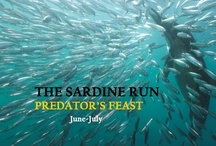 Sardine Run South Africa / The spectacular migration of sardines occurs annually during the cooler months of June and July off the eastern coast of South Africa. Seemingly endless number of sardines move in concentrated shoals, attracting hordes of opportunistic marine predators. Sharks, dolphins and gannets feast on the sardines, to the delight of visiting divers who come to the Wild Coast the two months that this spectacle lasts.