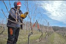 Vines, Vines, Vines! / We love to watch the changes of our vines from season to season. From dormant, to bud break, to grapes and finally to harvest time!