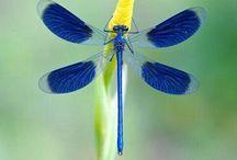 勝虫(Dragonfly)
