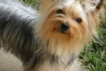 Love my Yorkies and other pets / by Sue Fullem