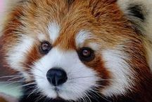 Bears & Pandas / Molecular studies suggest the giant panda is a true bear and part of the Ursidae family, though it differentiated early in history. (Wikipedia)