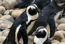 Birds Flightless / Penguins (order Sphenisciformes, family Spheniscidae) are a group of aquatic, flightless birds living almost exclusively in the Southern Hemisphere, especially in Antarctica.