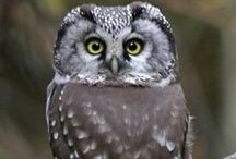 Birds Owls / Owls, birds of the order Strigiformes, include about 200 species of mostly solitary and nocturnal birds of prey typified by an upright stance, a large, broad head, binocular vision and binaural hearing, and feathers adapted for silent flight.