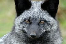Carnivores Foxes / Fox is a common name for many species of alert omnivorous mammals belonging to the Canidae family