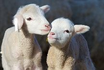 Sheeps & Goats / Más allá de la visión del rebaño