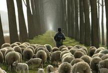 Sheeps on the road / Una mirada sobre los periplos trashumantes