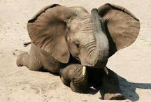 Elephants Gentle Giants / Stop poaching!