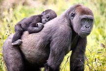Gorillas / Gorillas