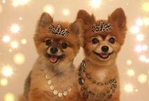 """Pommy Mommy Pomeranian Tiaras  / I love dressing my Pomeranian girls in the latest """"Pommy Couture"""" Here are a few of my favorite things in my little shop that I'm happy to share with you."""