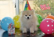 Pomeranian Birthday / Great tips and outfits for throwing a successful birthday for your Pomeranian  #pomeranian #brithday