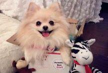 Pommy Box for Pomeranians