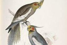 Art of Cockatiel / Illustration of cockatiel,Parakeet. Illustration,pictures,art,Painting 鳥(オカメインコ)のイラストです。