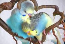 Photos of Birds-Budgies / Photos of Birds-Budgies,Parakeet. 鳥(セキセイインコ)の写真です。