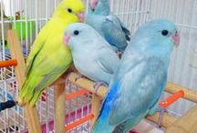 Photos of Birds-Pacific Parrotlet / Photos of Birds-Budgies,Pacific Parrotlet. 鳥(マメルリハ)の写真です。