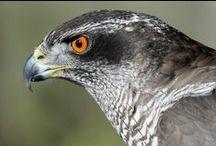 Photos of Birds-Hawk,Falcon,Eagle / Photos of Birds-Hawk,Falcon,Eagle. 鳥(鷹、隼、鷲)の写真です。