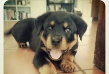 Rottwieler ... The Best Dog :)