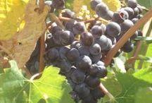 La nostra terra: l'azienda agricola biologica / I nostri prodotti sono prettamente biologici, in questa bacheca trovate alcune immagini dei nostri prodotti. Tra questi, il melone giallo (vi è in corso il riconoscimento I.G.P.), l'olio extra vergine d'oliva ed il vino rosso Nero d'Avola e il bianco Catarratto. Vengono coltivati anche altri prodotti tra ortaggi vari e frutta, utilizzati nella nostra cucina.