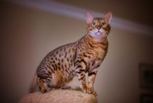 My Bengal Cat / Ceviz the Bengal