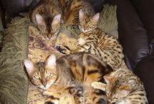 Bengal Cats only