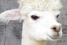 Ovce - koza - lama