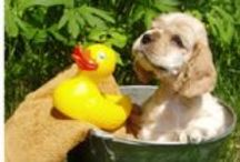 **Dogs: Cocker Spaniel** / Welcome!! Pin your favorite cocker spaniel photos only..no spam!! Thanks for joining!!