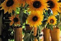 sunflowerseason