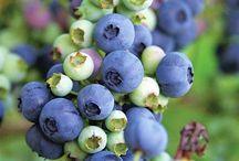 Pěstování ovoce