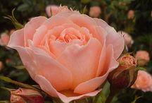 # Roses Flowers.  #   Rosas / Rosas de várias espécies e lugares / by Luci Busnardo 1