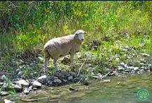 Discover Lamb!