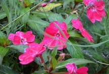 What to Plant Instead of Impatiens / Bye Bye Bizzy Lizzies.  Impatients blight 2013, impatiens fungus, whatever the diagnosis, what to do when the number one garden annual disappears from the shelves?  Here's some suggestions.
