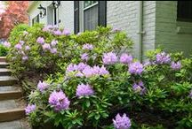 How or When to Trim Rhododendron / When should a rhododendron be trimmed?  How to trim a rhododendron's a bit tricky.