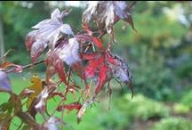 Black Spot on Red Maple Leaves / Why are the leaves turning black? Charred foliage is not part of the usual vibrant fall palette.